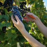 College offers viticulture workshop in January
